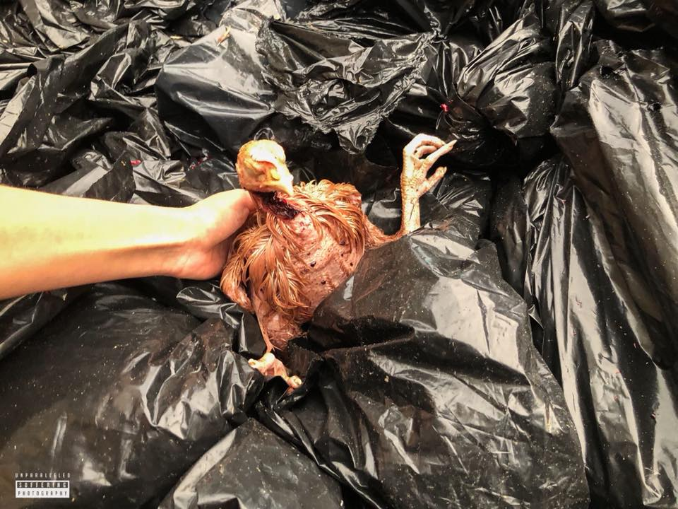A chicken that appears to be dead laying amoung garbage bags