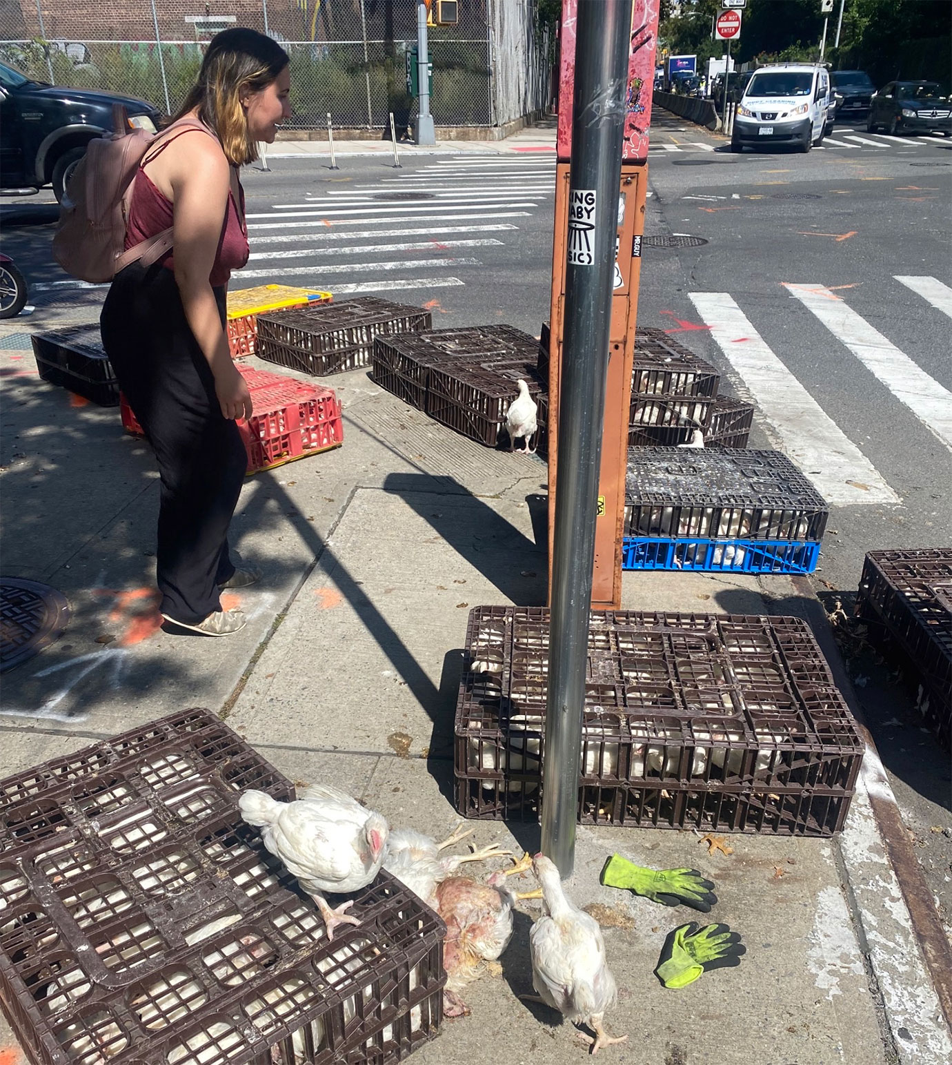 Chickens in crated and walking free on sidewalk after the crates fell off a truck