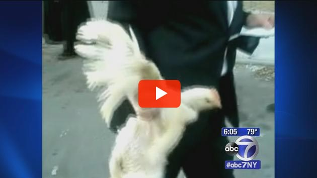 ABC News coverage of Kaporos chicken cruelty