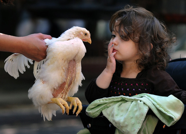 Child watching a hen being held by it's wings.